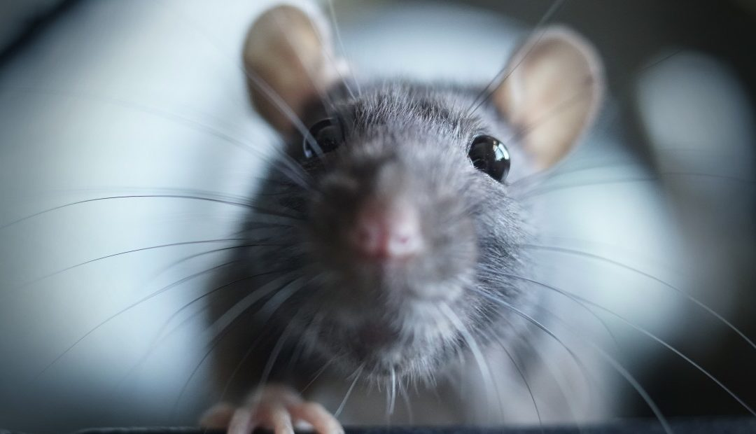 America's Most Rat-Infested Cities: Did yours make the list?